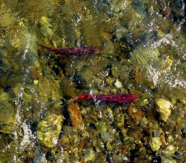 salmon2sm
