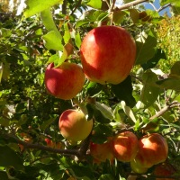 Spigold: the apple you want to eat