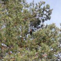 Habitat for Great Horned Owls