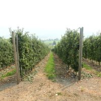 Smoke on the Orchards Reveals Some Structural Weaknesses in Canadian Apple Growing