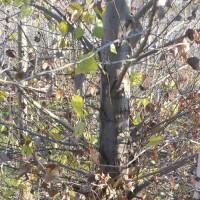 Ponderosa Pines: The Van Goghs of the Leaf World