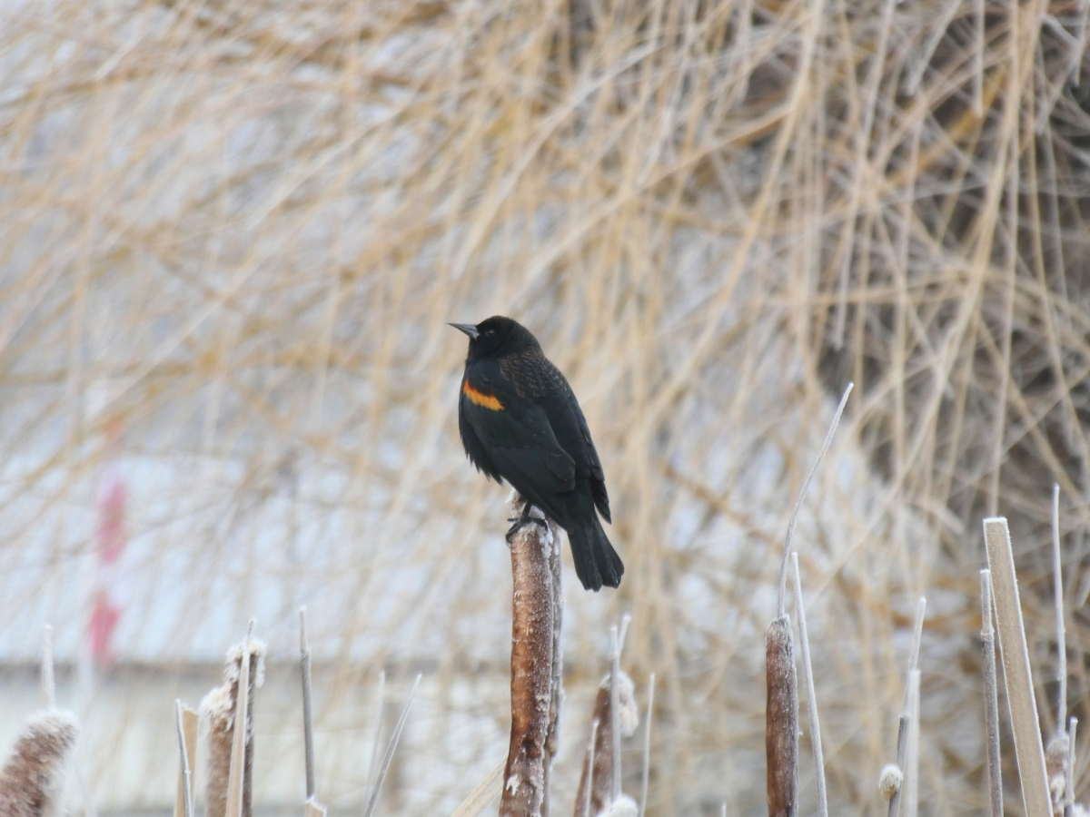 It's March When You Are Here With Me, Buddy: a Song for Blackbird and Marsh