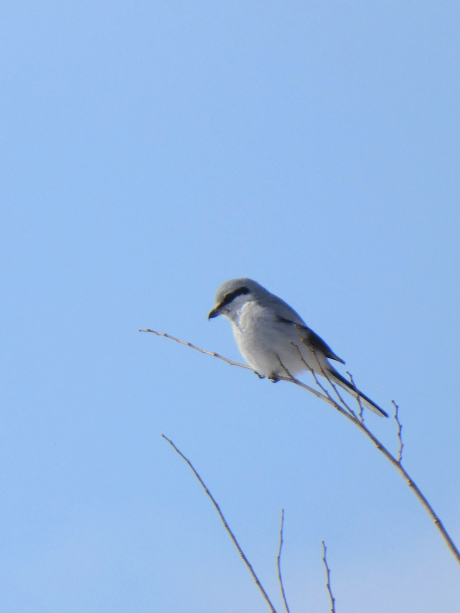 Northern Shrike Goes to the Tropics