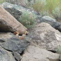 A Marmot and His Rocks