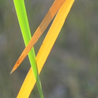 What Colour is a Cattail, Anyway?