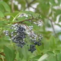 Elderberry Mystery