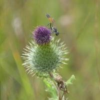 The Story of Wasp and Thistle