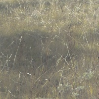 Why It's Called Porcupine Grass