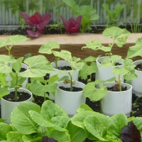 Vacuum Cleaner Beans: An Experiment in Early Planting