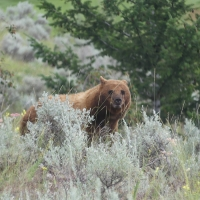 Cinnamon Bear in the Sagebrush