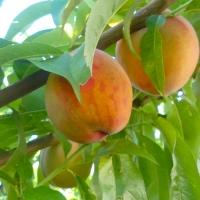 Peach Harvest Begins