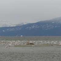 Gull Island: A New Island in Okanagan Lake