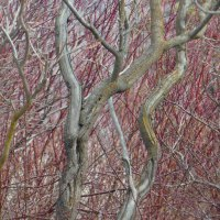 Sumac and Red Dogwood